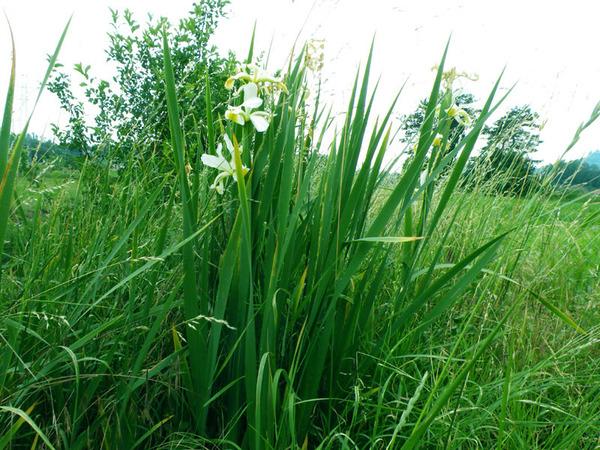 Chamaeiris orientalis (Mill.) M.B.Crespo