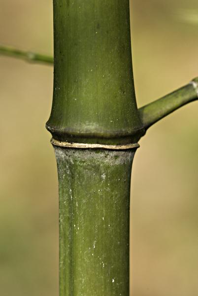 Phyllostachys reticulata (Rupr.) K.Koch