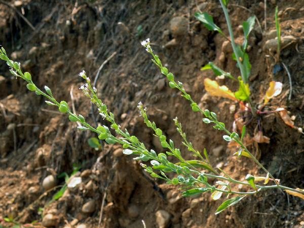 Lepidium sativum L. subsp. sativum