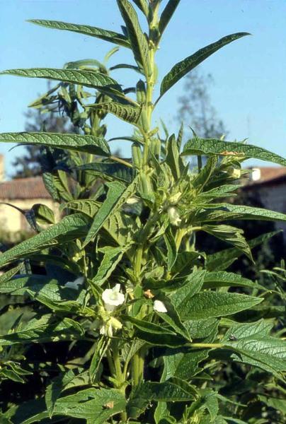 Sesamum indicum L.