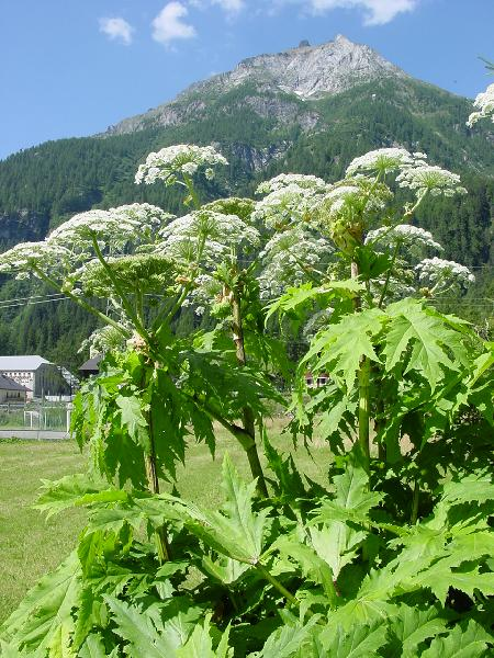 Heracleum mantegazzianum Sommier & Levier