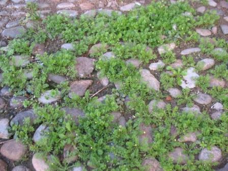 Cotula australis (Sieber ex Spreng.) Hook.f.