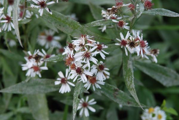 Symphyotrichum lanceolatum (Willd.) G.L.Nesom