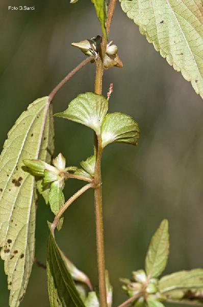 Acalypha australis L.