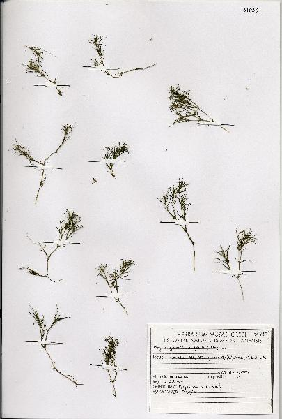 Najas gracillima (A.Braun ex Engelm.) Magnus