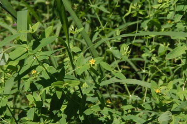 Hypericum mutilum L. subsp. mutilum