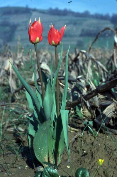 Tulipa raddii Reboul