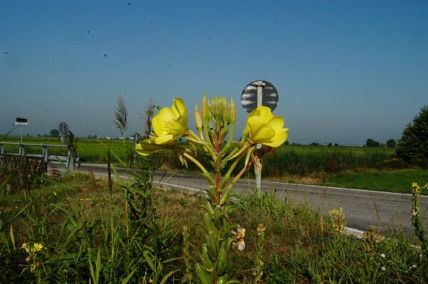 Oenothera fallacoides Soldano & Rostański