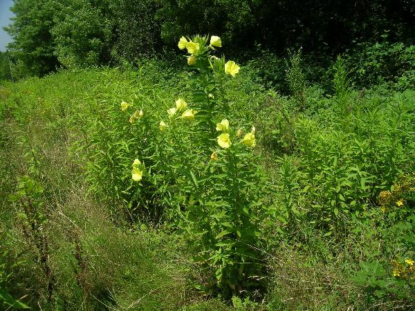Oenothera oehlkersii Kappus ex Rostański
