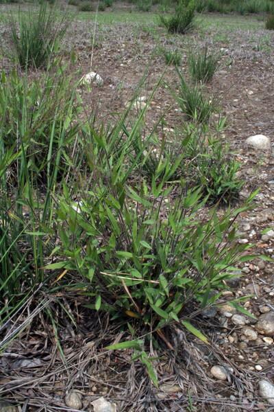 Dichanthelium acuminatum (Sw.) Gould & C.A.Clark subsp. implicatum (Scribn.) Freckmann & Lelong