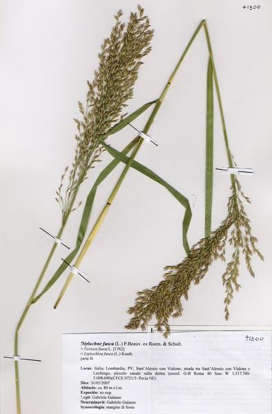 Diplachne fusca (L.) P.Beauv. ex Roem. & Schult. subsp. fusca