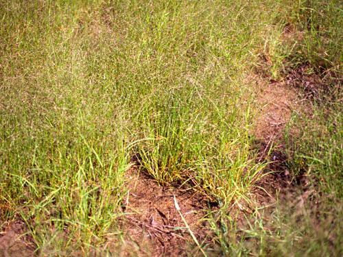 Eragrostis pectinacea (Michx.) Nees