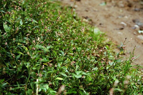 Persicaria longiseta (Bruijn) Kitag.
