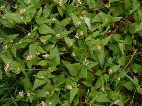 Persicaria nepalensis (Meisn.) H.Gross