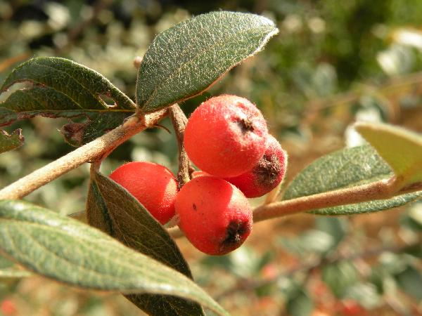 Cotoneaster pannosus Franch.