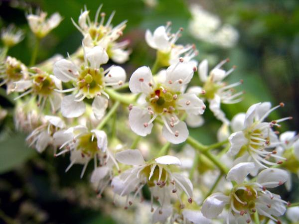Prunus serotina Ehrh.
