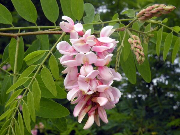 Robinia viscosa Vent.