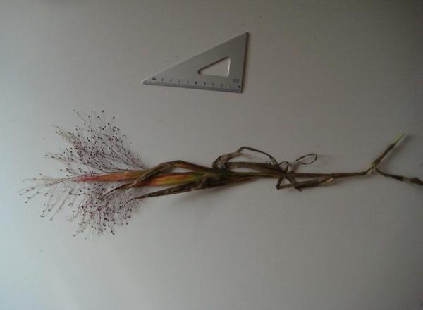 Panicum philadelphicum Bernh. ex Trin.
