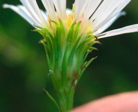Symphyotrichum pilosum (Willd.) G.L.Nesom