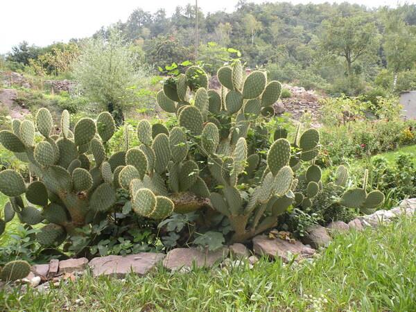 Opuntia chlorotica Engelm. & J.M.Bigelow