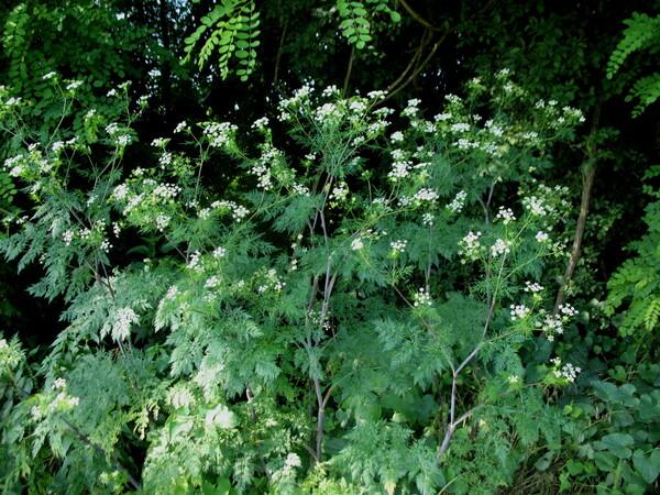 Chaerophyllum bulbosum L. subsp. bulbosum