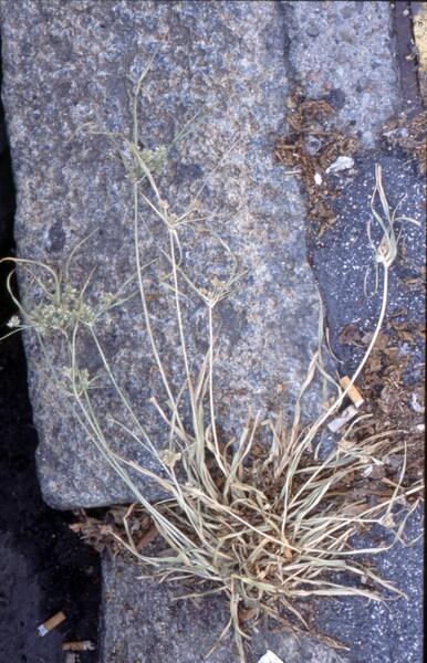 Cyperus eragrostis Lam.