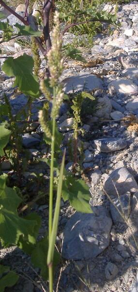 Echinochloa colona (L.) Link