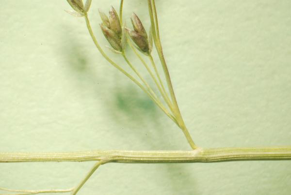 Eragrostis frankii C.A.Mey. ex Steud.