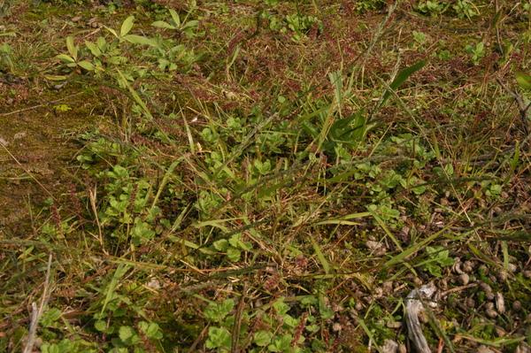 Eragrostis mexicana (Hornem.) Link subsp. virescens (J.Presl) S.D.Koch & Sánchez Vega