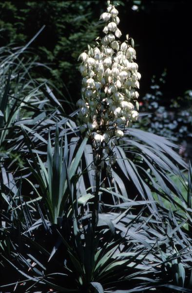 Yucca recurvifolia Salisb.