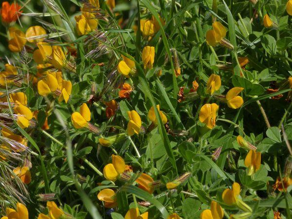 Lotus longisiliquosus R.Roem.