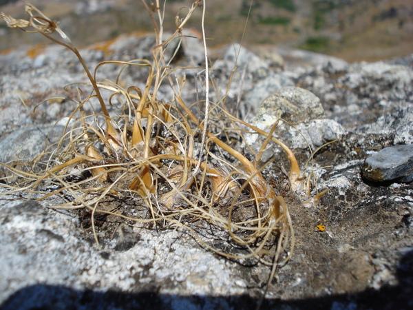 Allium pentadactyli Brullo, Pavone & Spamp.