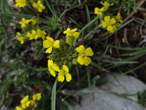 Alyssum diffusum Ten. subsp. calabricum Španiel, Marhold, N.G.Passal. & Lihová