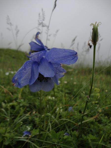 Aquilegia lucensis E.Nardi