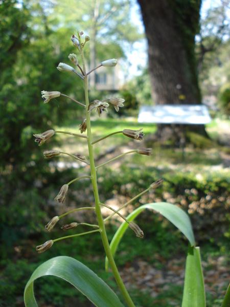 Bellevalia ciliata (Cirillo) T.Nees