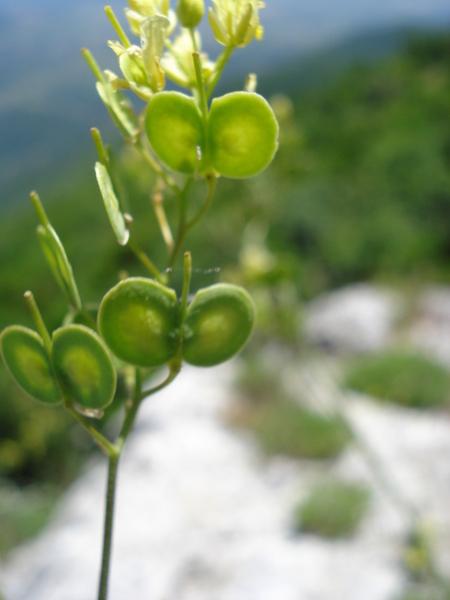 Biscutella pichiana Raffaelli subsp. pichiana