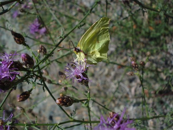 Centaurea aplolepa Moretti subsp. maremmana (Fiori) Dostál