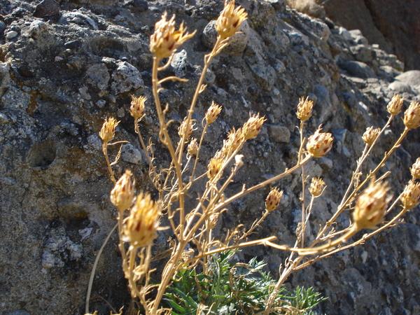 Centaurea pentadactyli Brullo, Scelsi & Spamp.