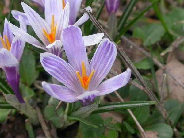 Crocus siculus Tineo ex Guss.