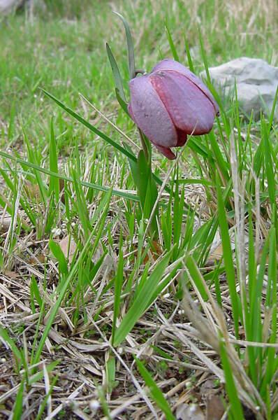 Fritillaria tubaeformis Gren. & Godr. subsp. tubaeformis