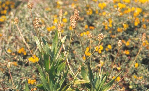 Plantago amplexicaulis Cav. subsp. amplexicaulis