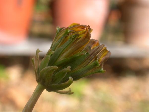 Taraxacum garbarianum Peruzzi, Aquaro, Caparelli & Raimondo