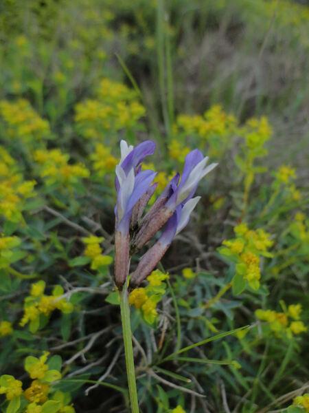 Astragalus muelleri Steud. & Hochst. subsp. etruscus Peruzzi, Gestri & Pierini