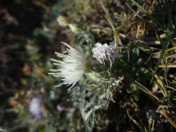 Centaurea aplolepa Moretti subsp. subciliata (DC.) Arcang.