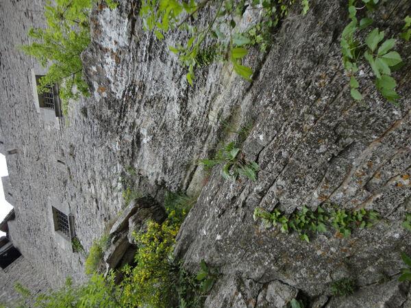 Crepis lacera Ten. subsp. titani (Pamp.) Roma-Marzio, G.Astuti & Peruzzi