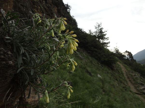 Onosma pseudoarenaria Schur subsp. helvetica Rauschert