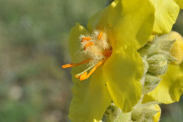 Verbascum niveum Ten. subsp. inarimense Murb.