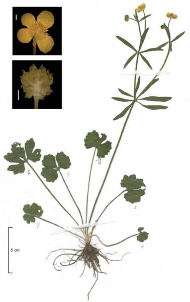 Ranunculus abbaianus Dunkel