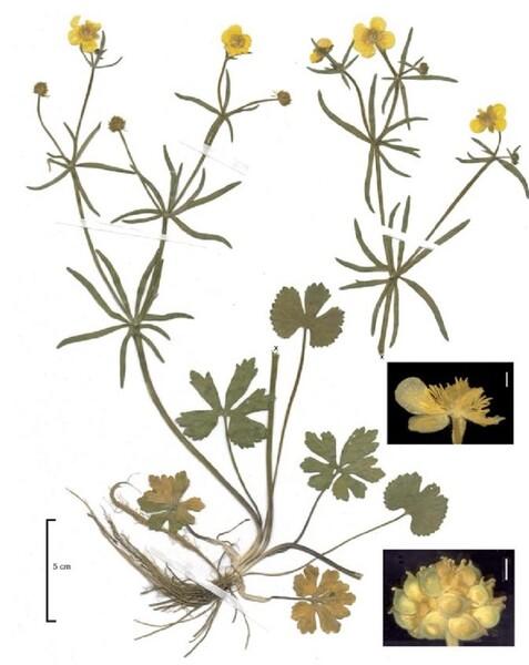 Ranunculus boreoapenninus Pignatti