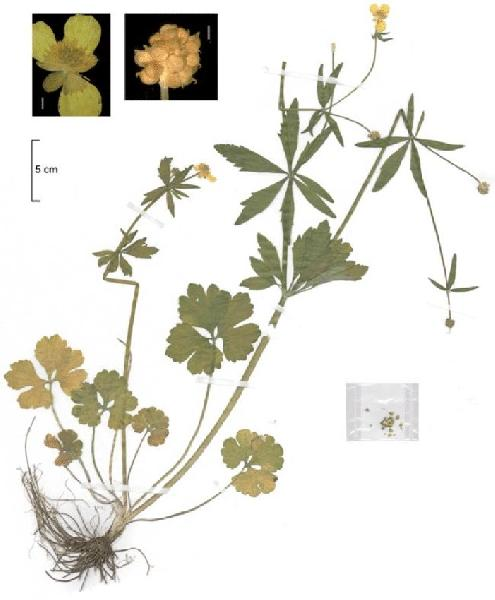 Ranunculus cochlearifer Dunkel